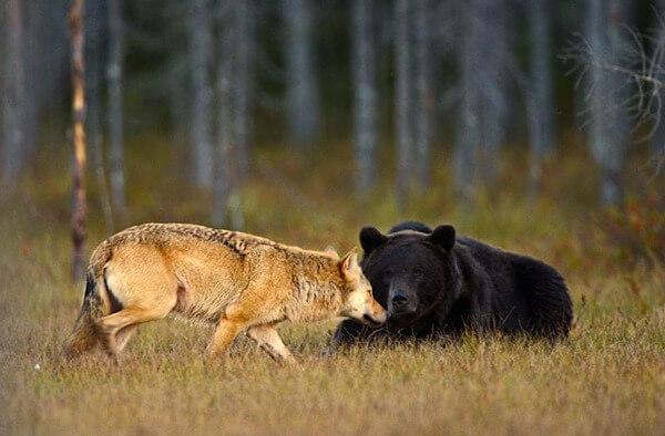 bear wolf friendship 2