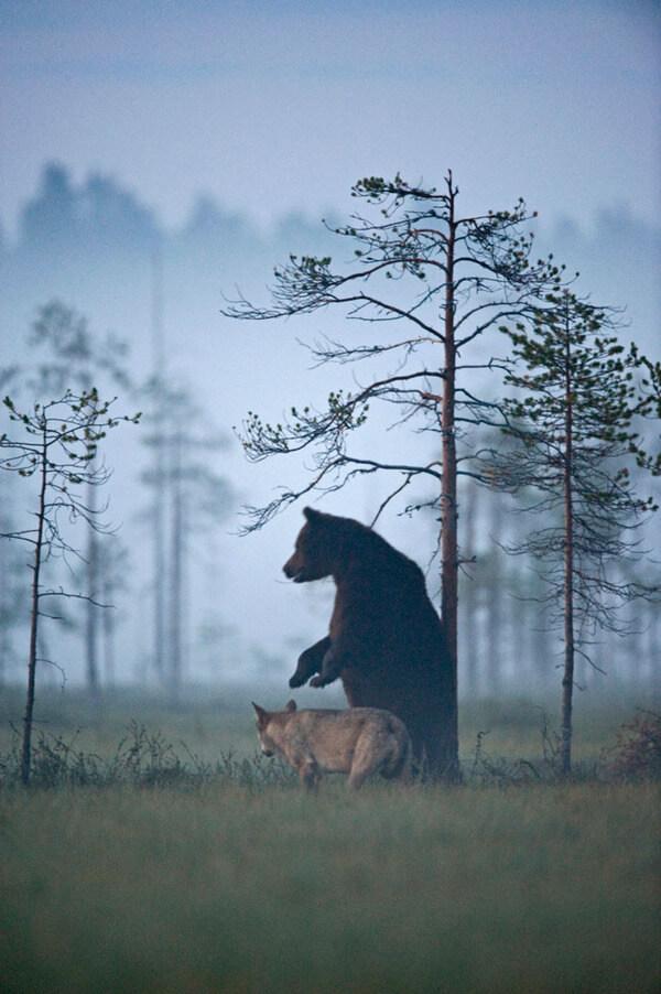bear wolf friendship 10