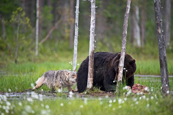 bear wolf friendship 8
