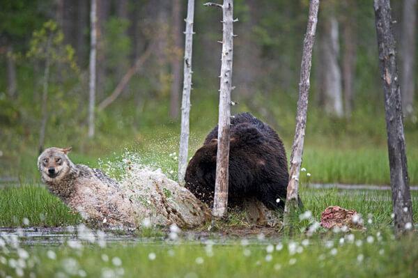 bear wolf friendship 9