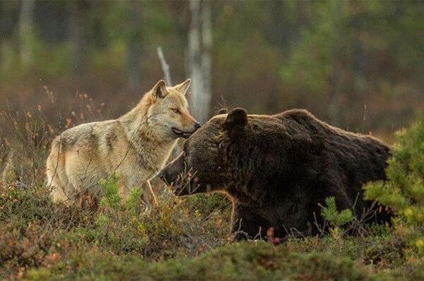 bear wolf friendship 6