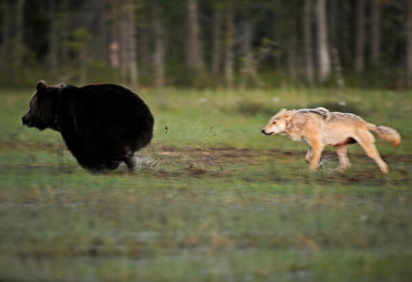 bear wolf friendship 4