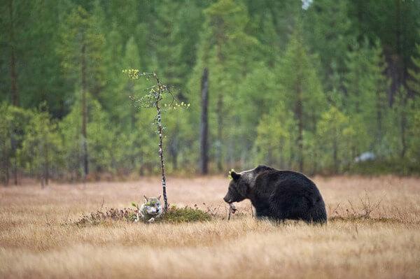 bear wolf friendship 5