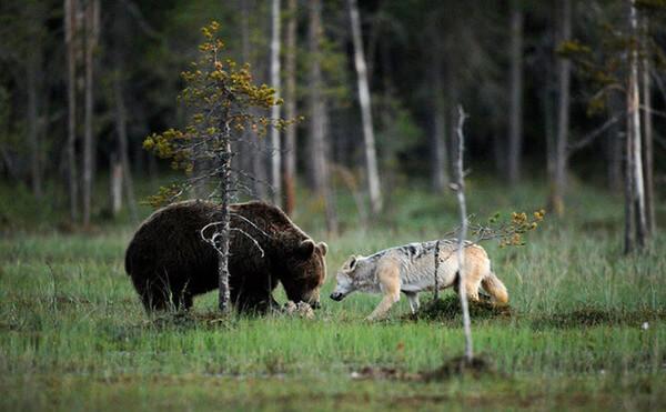 bear wolf friendship 7