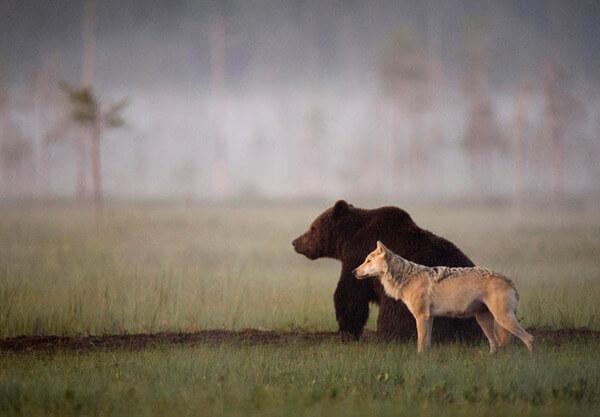 bear wolf friendship 1