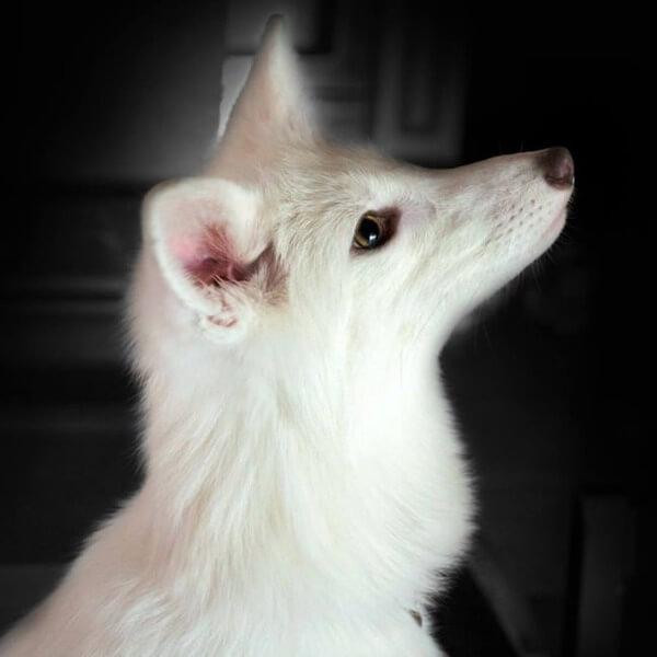 rylai the fox 18