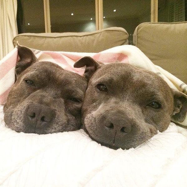 DARREN AND PHILLIP - adorable bull terriers 4