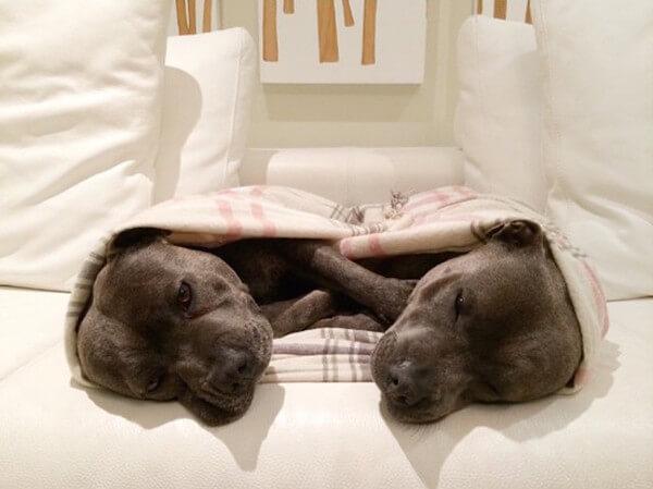 DARREN AND PHILLIP - adorable bull terriers 6