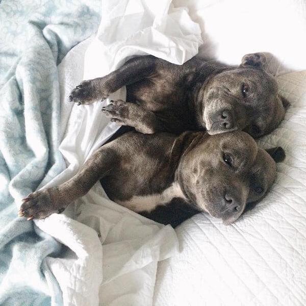 DARREN AND PHILLIP - adorable bull terriers 8