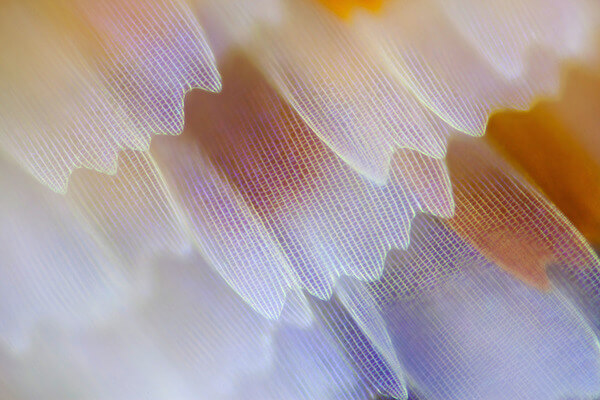 stunning macro photos of butterfly wings 12