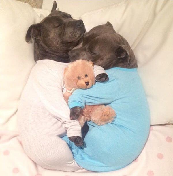 DARREN AND PHILLIP - adorable bull terriers 1