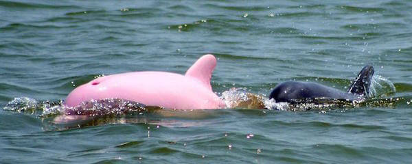 rare pink dolphin 2
