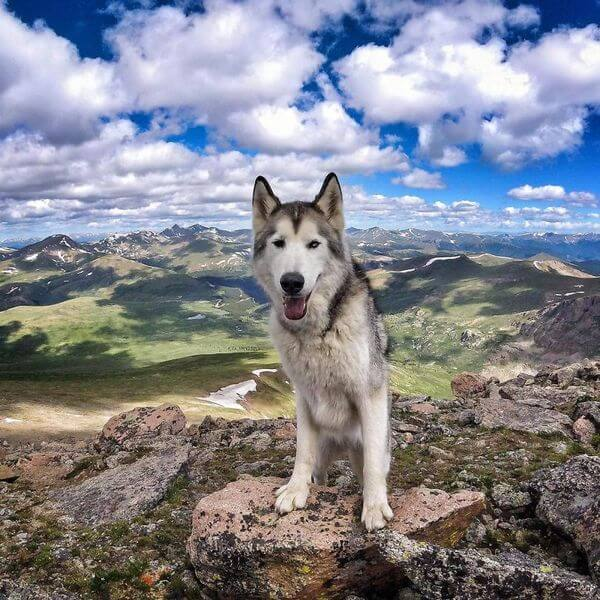 Loki the Wolfdog 15