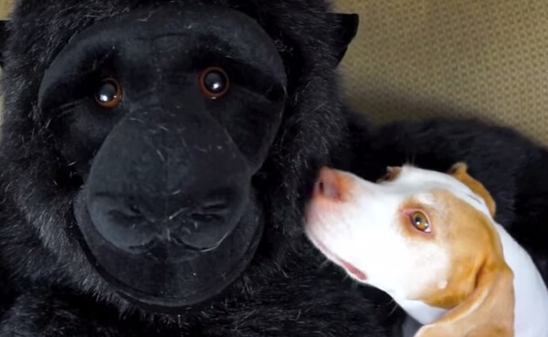 Dog Falls In Love With Stuffed Gorilla 1