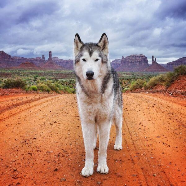 Loki the Wolfdog 4