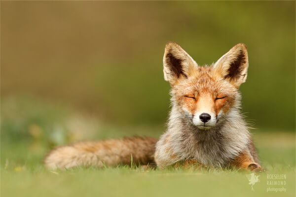 foxes in zen like bliss 2
