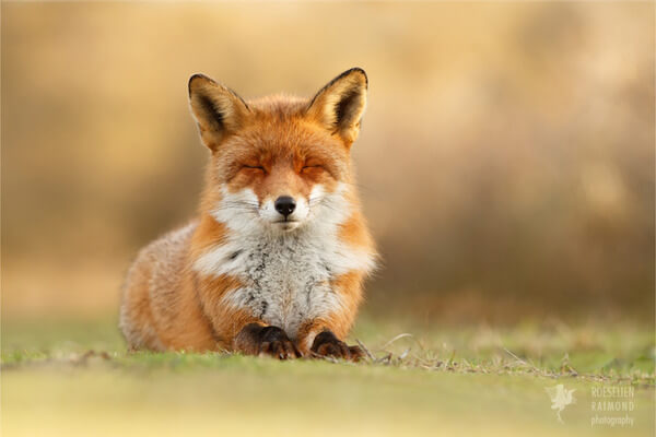 foxes in zen like bliss 7