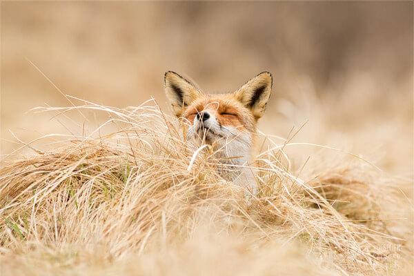 foxes in zen like bliss 10