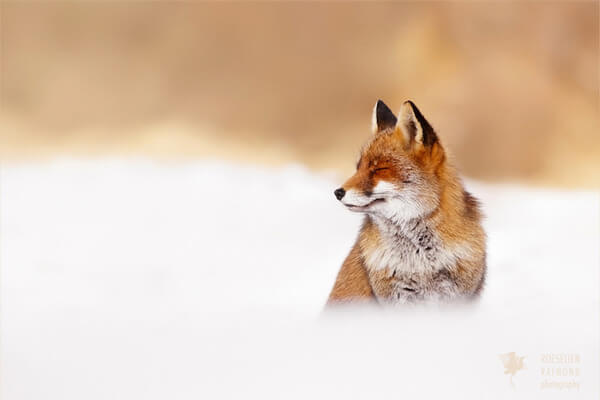 foxes in zen like bliss 11