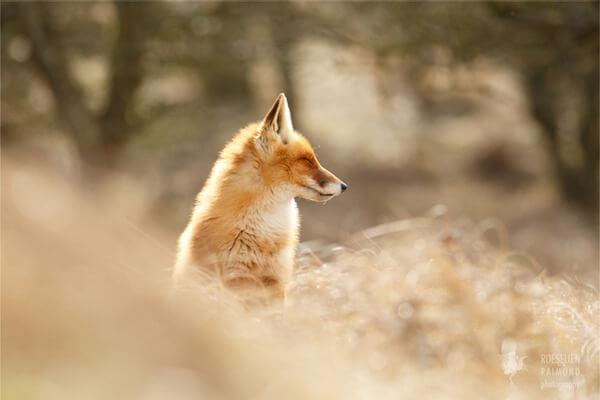 foxes in zen like bliss 6