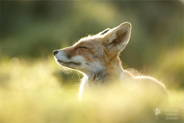 foxes in zen like bliss 5