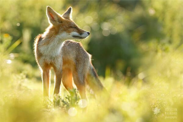 foxes in zen like bliss 8