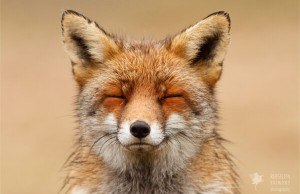 foxes in zen like bliss 1