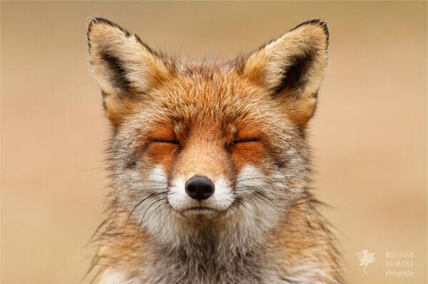 foxes in zen like bliss 1