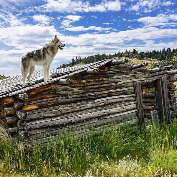Loki the Wolfdog 13