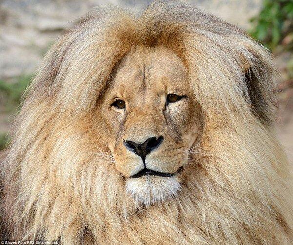 luxurious lion leon 2