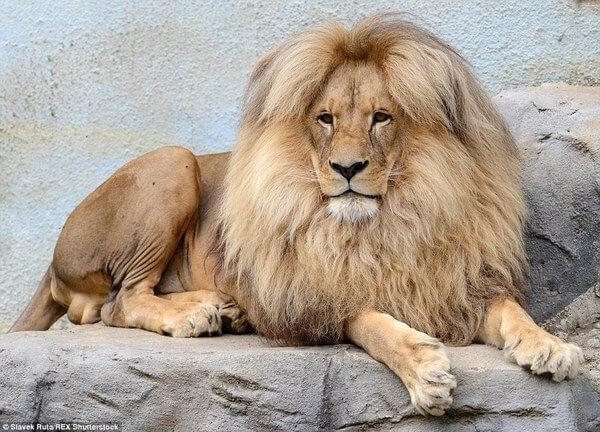 luxurious lion leon 1