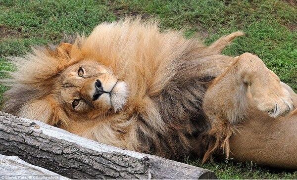 luxurious lion leon 5
