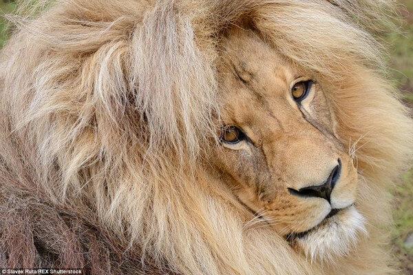 luxurious lion leon 6
