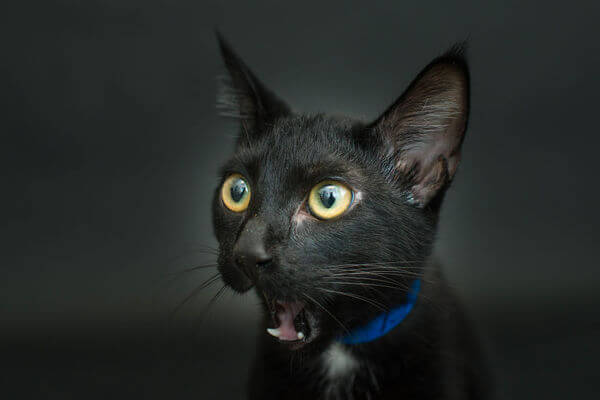 Black Shelter Cats Are The Last To Get Adopted 3