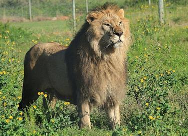 circus lions finally free 11