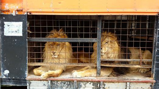 circus lions finally free 1