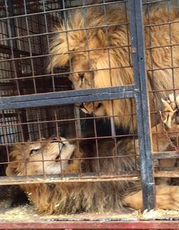circus lions finally free 2