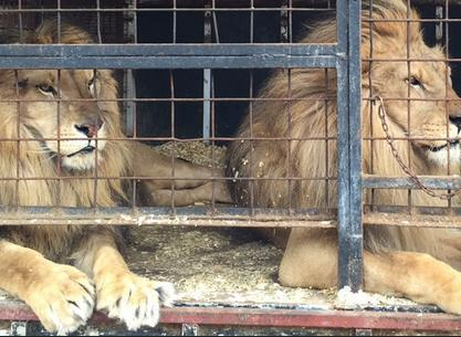 circus lions finally free 3