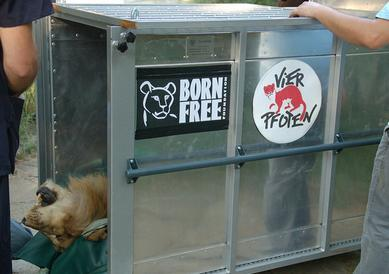circus lions finally free 6