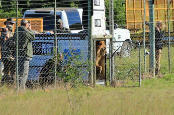 circus lions finally free 7