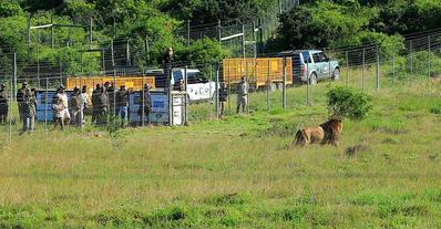 circus lions finally free 8