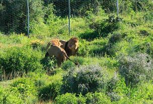 circus lions finally free 9