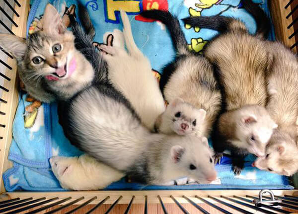 rescued cat thinks hes a ferret 2