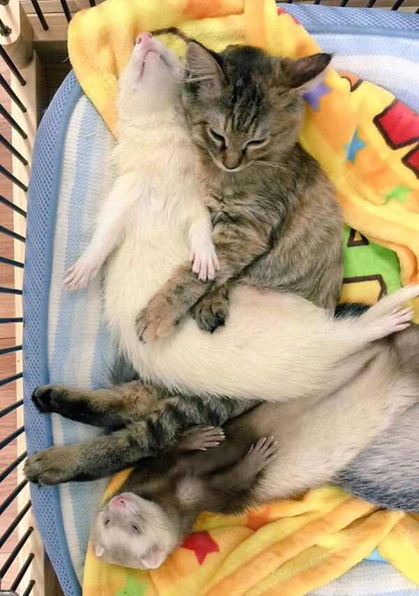 rescued cat thinks hes a ferret 3