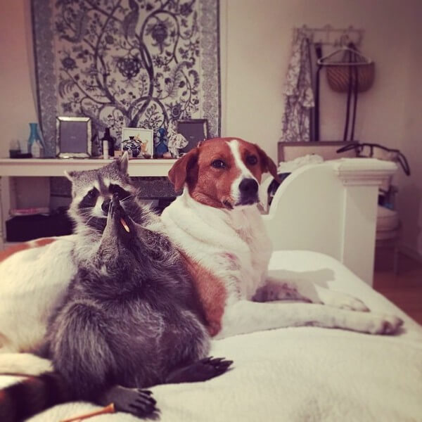 rescued raccoon friendship with dog 13
