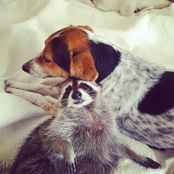 rescued raccoon friendship with dog 11