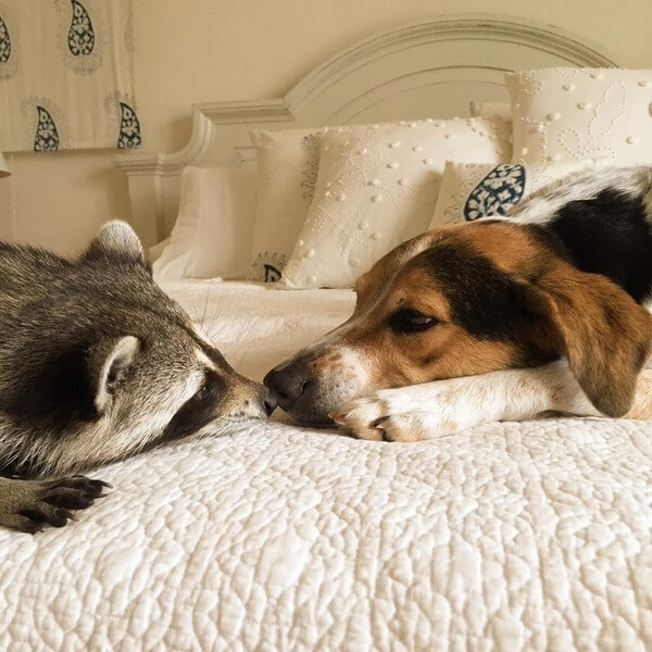 rescued raccoon friendship with dog 9