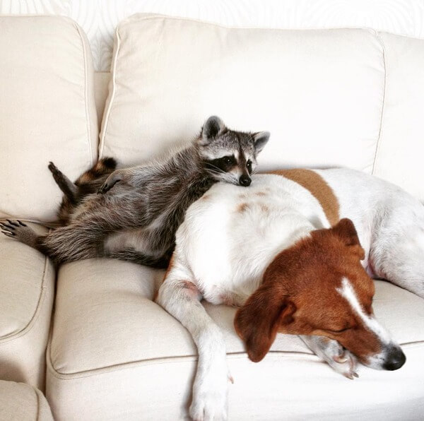 rescued raccoon friendship with dog 15