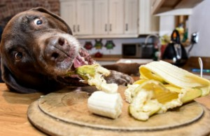 hungry labrador 1
