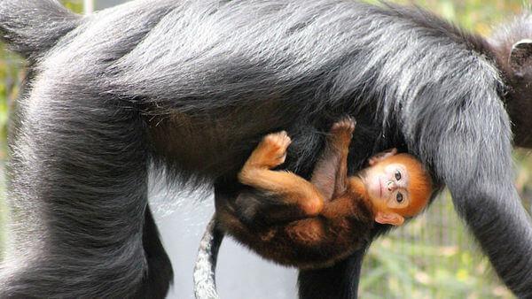 rare orange monkey 2